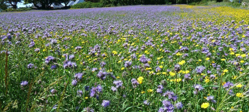 Semis précoces de couverts végétaux